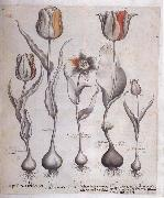 Basilius Besler Drawing for the Hortus Eystettensis oil painting picture wholesale