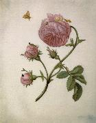 Maria Sibylla Merian Bush Rose with Leafminer Moth,Larva,and Pupa oil painting picture wholesale