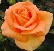 unknow artist Realistic Orange Rose oil painting picture wholesale