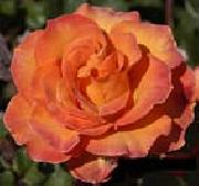 unknow artist Orange Rose oil painting picture wholesale