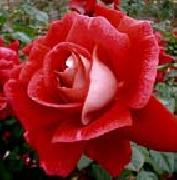 unknow artist Realistic Red Rose oil painting picture wholesale