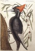 Catesby Mark Largest White Billed Woodpecker oil